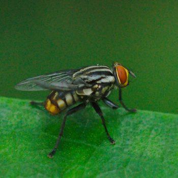 Oxysarcodexia sp. (Fleischfliege) - Costa Rica