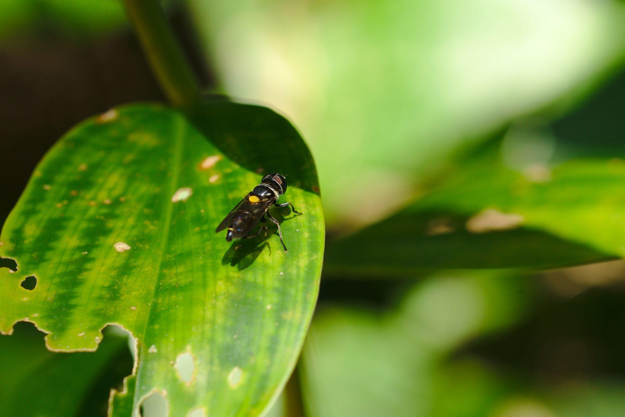 <i>Palpada fasciata</i> (Schwebfliege)