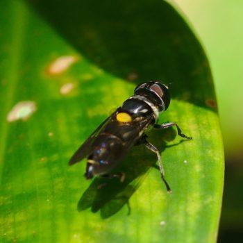 Palpada fasciata (Schwebfliege)