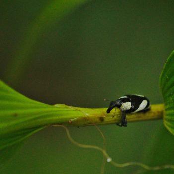 Peridinetus cretaceus (Black and White Weevil)