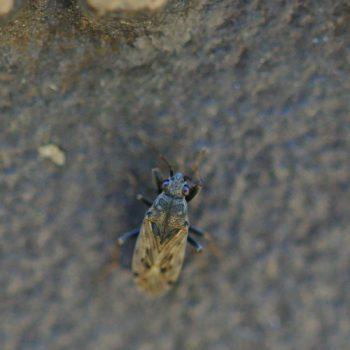Peritrechus gracilicornis (Glasflügelwanze)