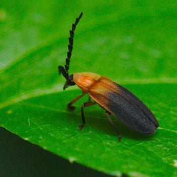 Phaenolis sp. (Leuchtkäfer) - Costa Rica