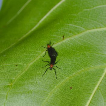 Plecia sp. (Haarmücke)