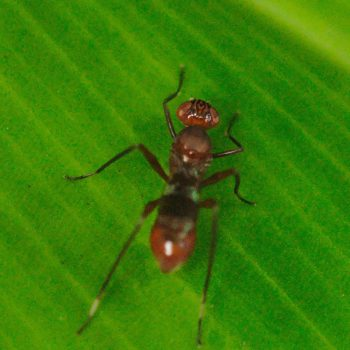 Plocoscelus sp. (Stelzenfliege) - Costa Rica