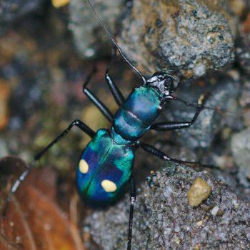 Cicindelinae (Sandlaufkäfer)