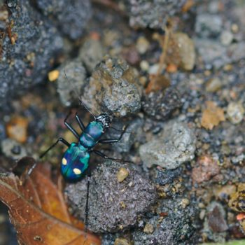 Pseudoxycheila tarsalis (Central American Montane Tiger Beetle)