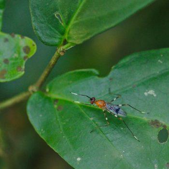 Ptilosphen cf. variolatus (Stelzenfliege)
