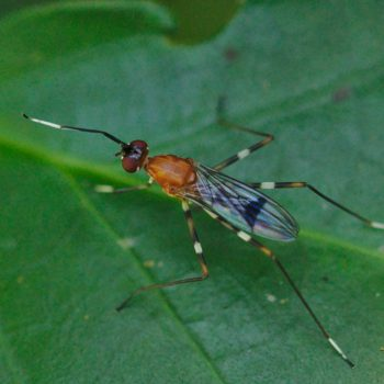 Ptilosphen variolatus (Stelzenfliege) - Costa Rica