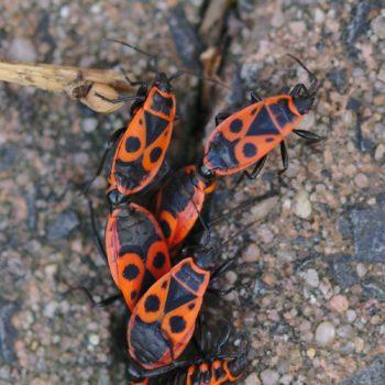 Pyrrhocoris apterus (Gemeine Feuerwanze)