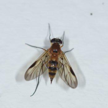 Rhagio sp. (Schnepfenfliege) - Costa Rica