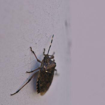 Rhaphigaster nebulosa (Graue Gartenwanze)