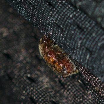 Scarabaeidae sp. (Blatthornkäfer)