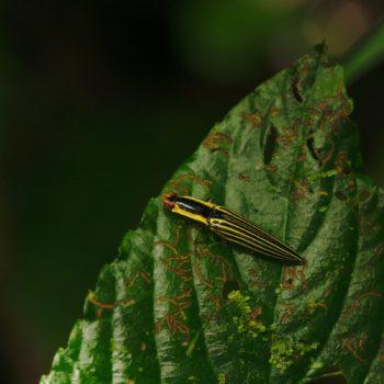 Semiotus superbus (Schnellkäfer)
