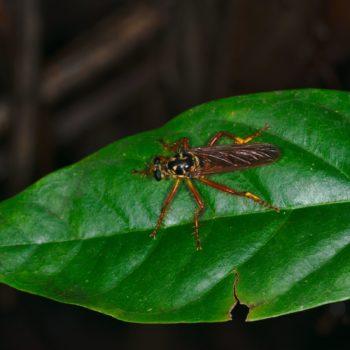 Smeryngolaphria numitor (Raubfliege)