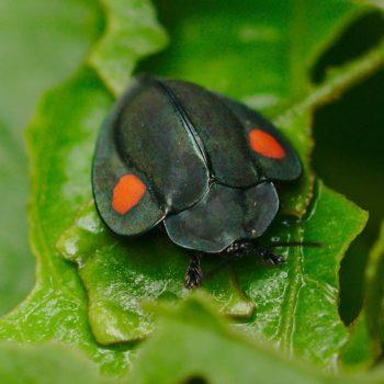 Cassidinae (Schildkäfer)