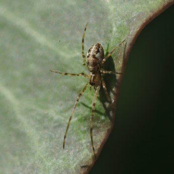 Tetragnatha obtusa (Streckerspinne)