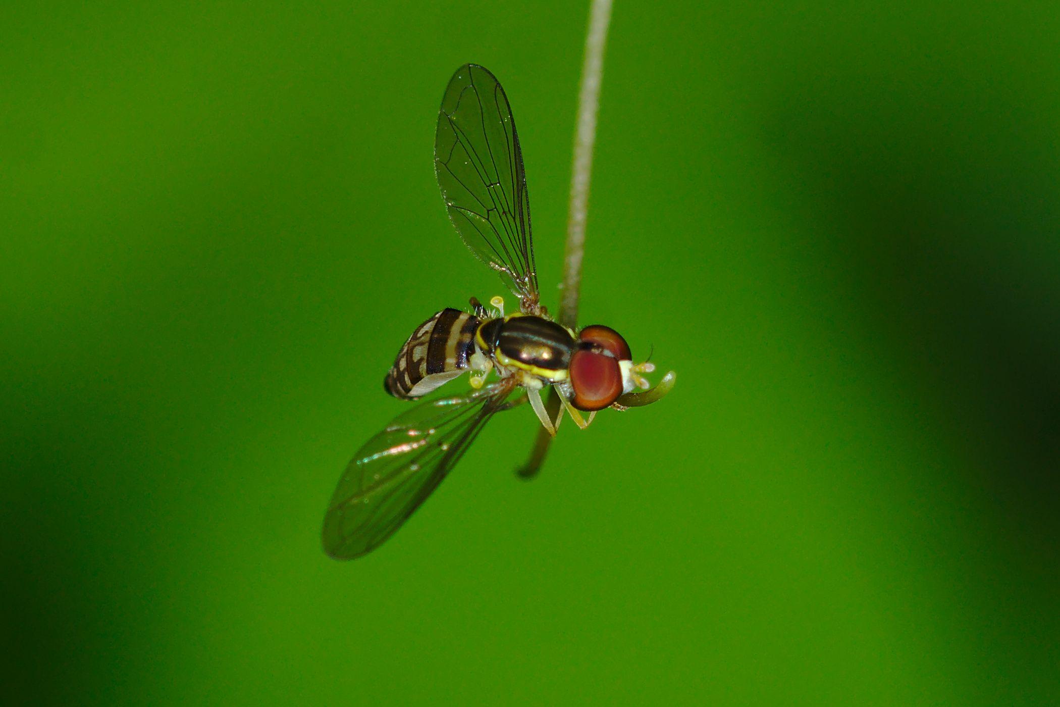 <i>Toxomerus pictus</i> (Schwebfliege)