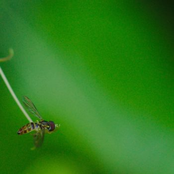 Toxomerus pictus (Schwebfliege)