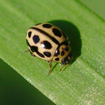 Coccinellinae