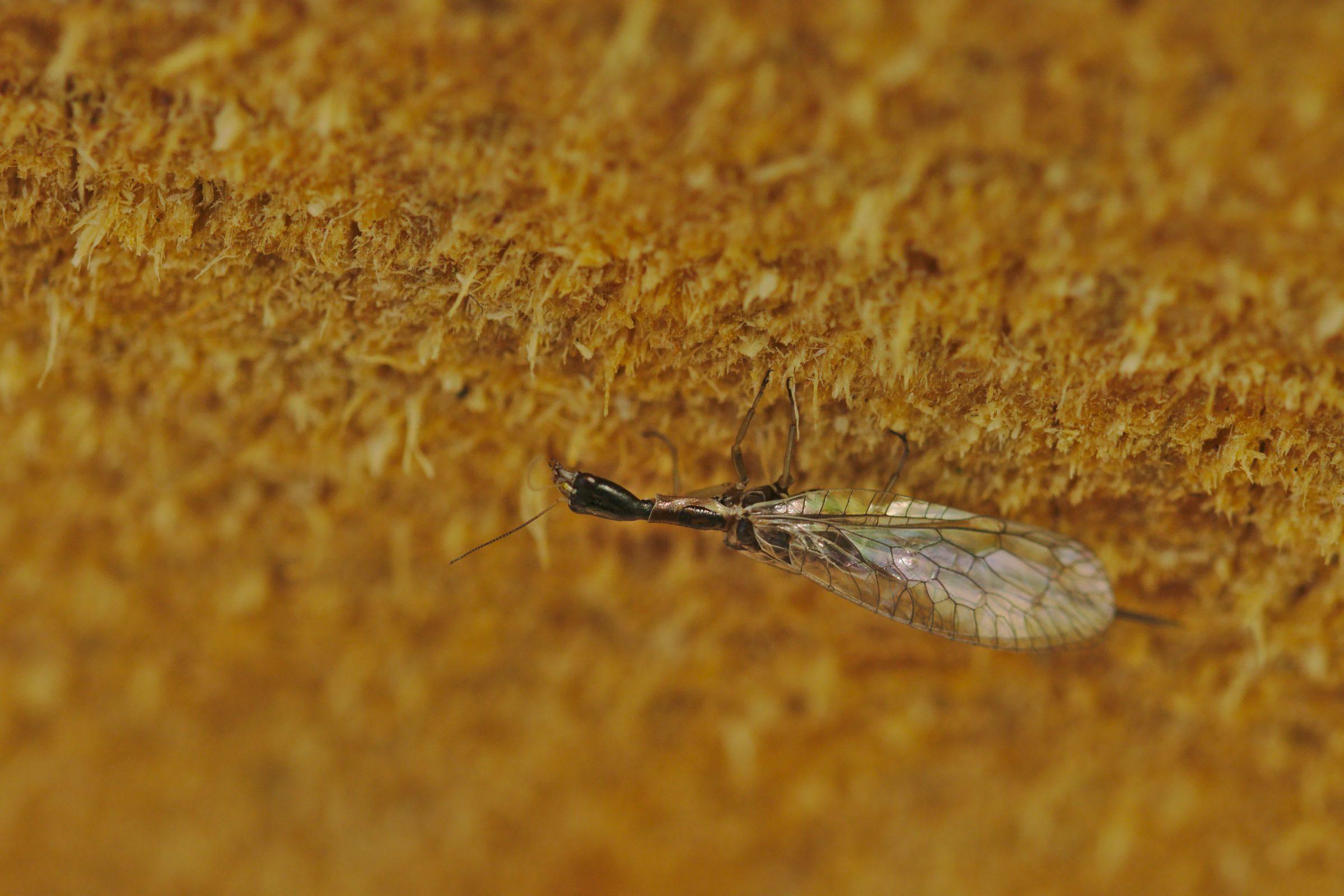 <i>Xanthostigma xanthostigma</i> (Gelbgezeichnete Kamelhalsfliege)
