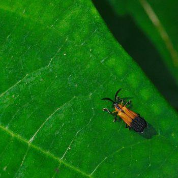 Xenochalepus amplipennis (Blattkäfer)
