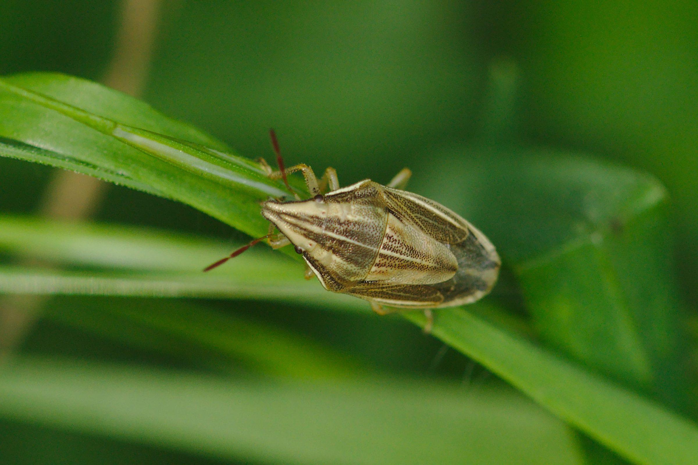 <i>Aelia acuminata</i> (Spitzling)