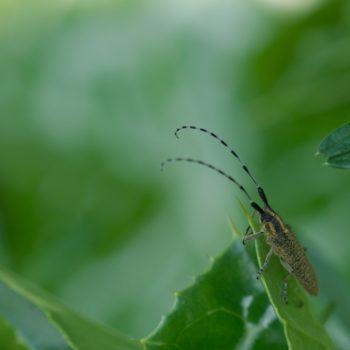 Agapanthia villosoviridescens (Scheckhorn-Distelbock)