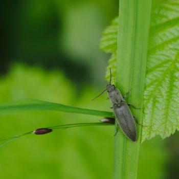 Agriotes pilosellus (Samt-Schnellkäfer)