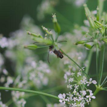 Alosterna tabacicolor (Feldahorn-Bock)