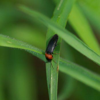 Ampedus sinuatus (Rothalsiger Schnellkäfer)