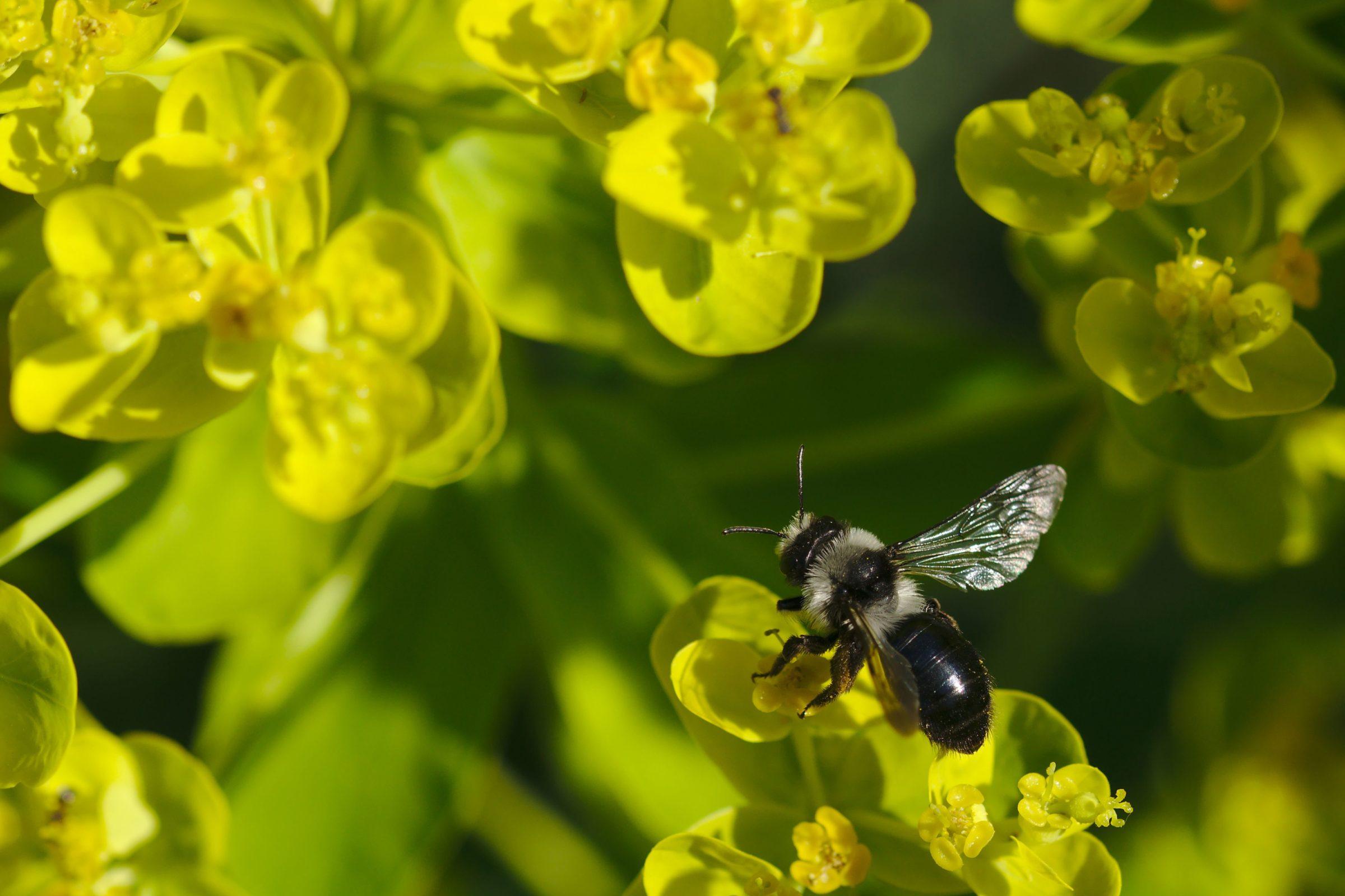 """<a href=""""/andrena-cineraria/"""" target=""""_blank"""" rel=""""noopener noreferrer""""><i>Andrena cineraria</i> (Grauschwarze Düstersandbiene)</a>"""
