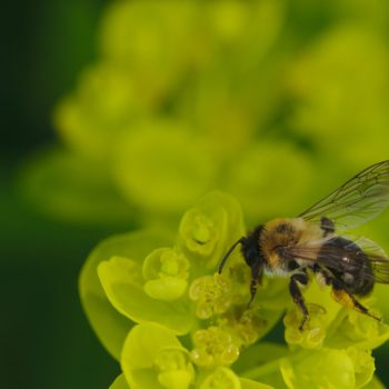 Andrena sp. (Sandbiene)