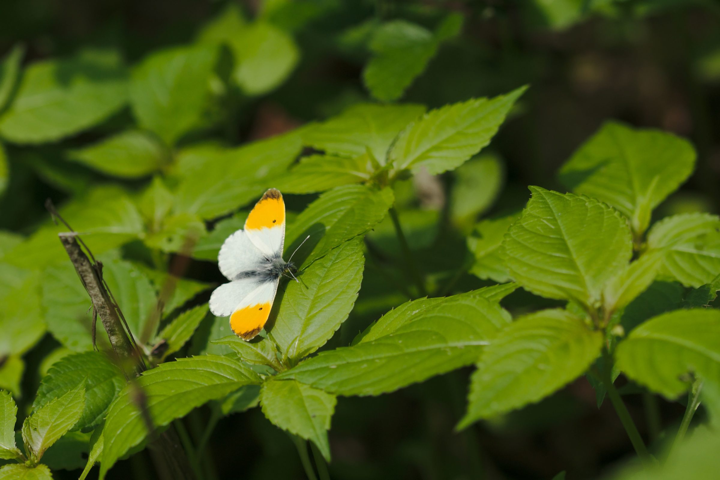 """<a href=""""/anthocharis-cardamines/"""" target=""""_blank"""" rel=""""noopener noreferrer""""><i>Anthocharis cardamines</i> (Aurorafalter)</a>"""
