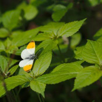 Anthocharis cardamines (Aurorafalter)