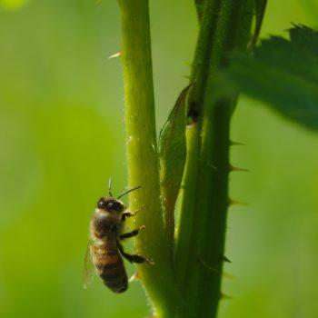 Apis mellifera (Westliche Honigbiene)