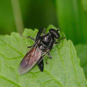 Brachypalpoides lentus (Rote Holzmulmschwebfliege)