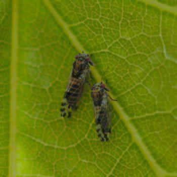 Cacopsylla pulchella (Blattfloh)