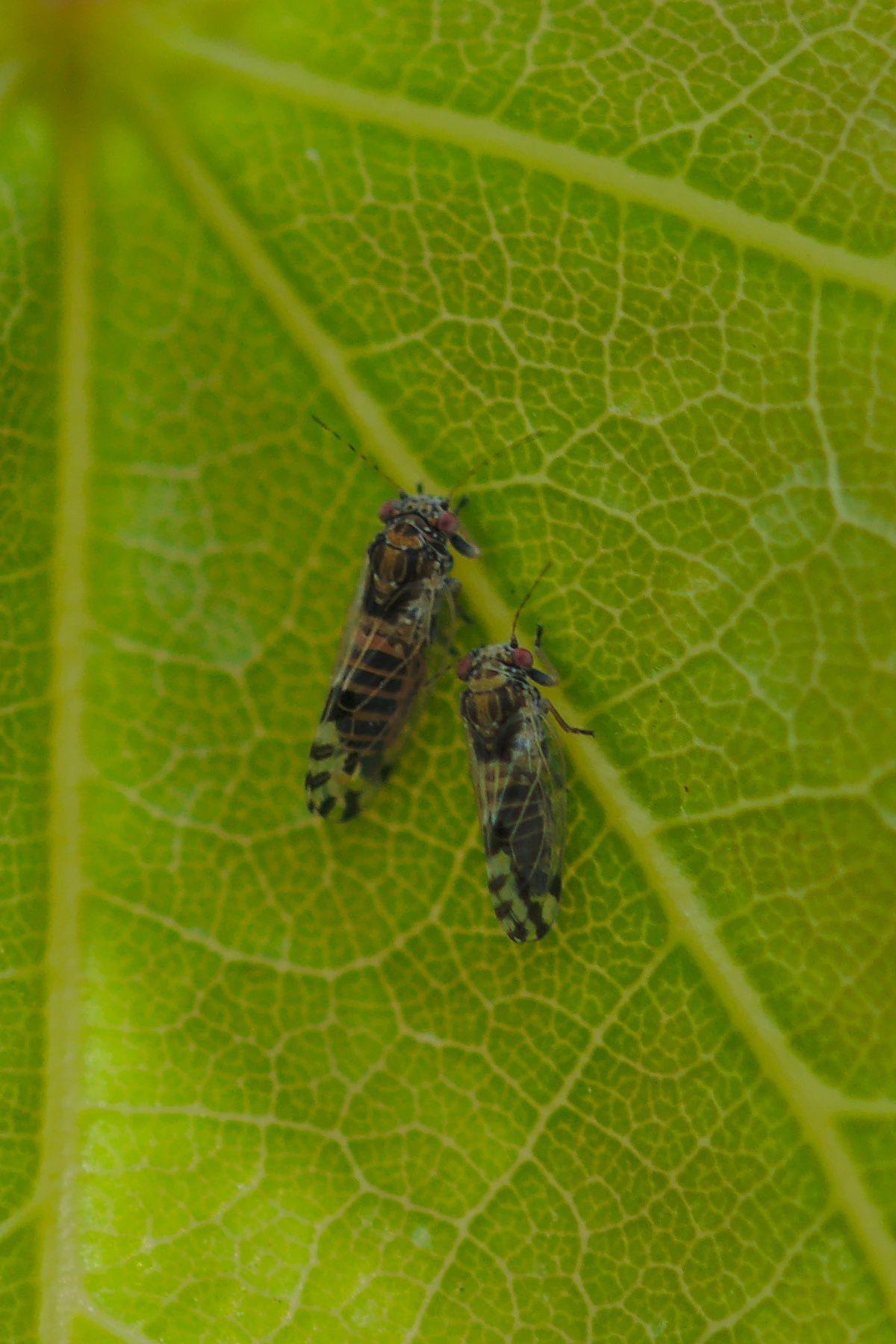 <i>Cacopsylla pulchella</i> (Blattfloh)