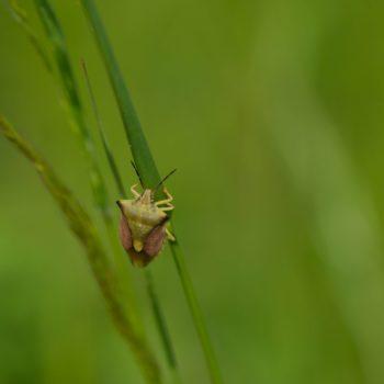 Carpocoris fuscispinus (Nördliche Fruchtwanze)