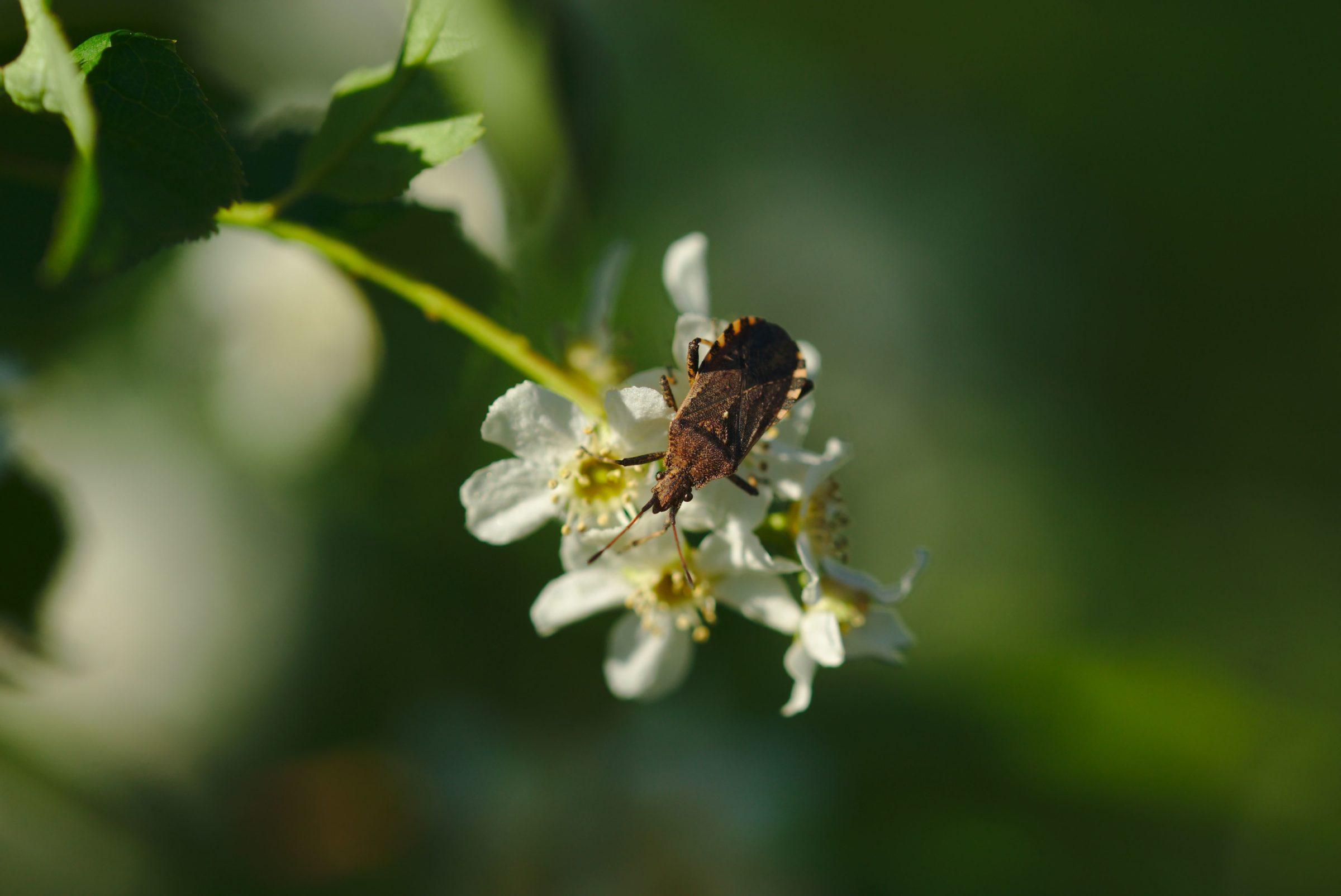 <i>Ceraleptus gracilicornis</i> (Randwanze)