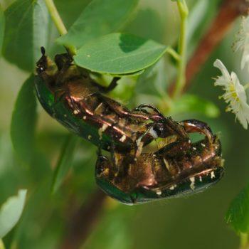 Cetonia aurata (Goldglänzender Rosenkäfer)