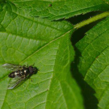 Cheilosia variabilis (Gemeine Erzschwebfliege)
