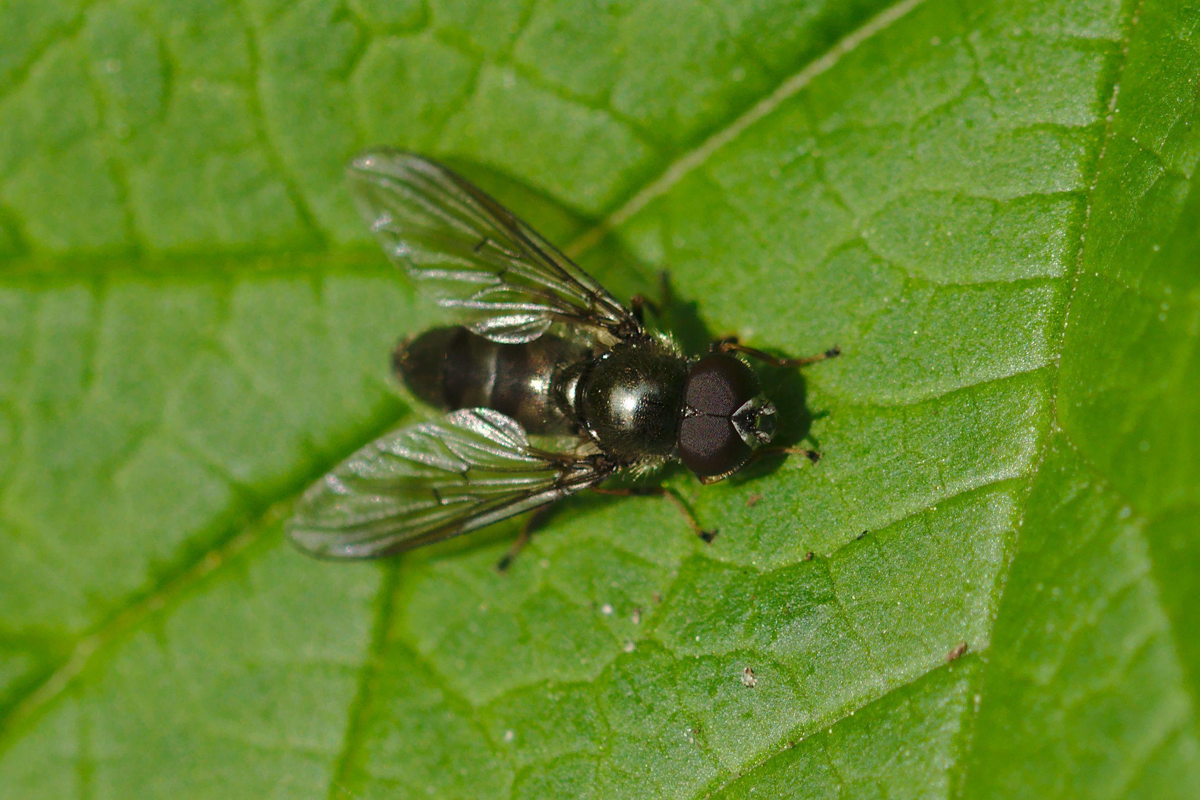 "<a href=""/cheilosia-variabilis/"" target=""_blank"" rel=""noopener noreferrer""><i>Cheilosia variabilis</i> (Gemeine Erzschwebfliege)</a>"
