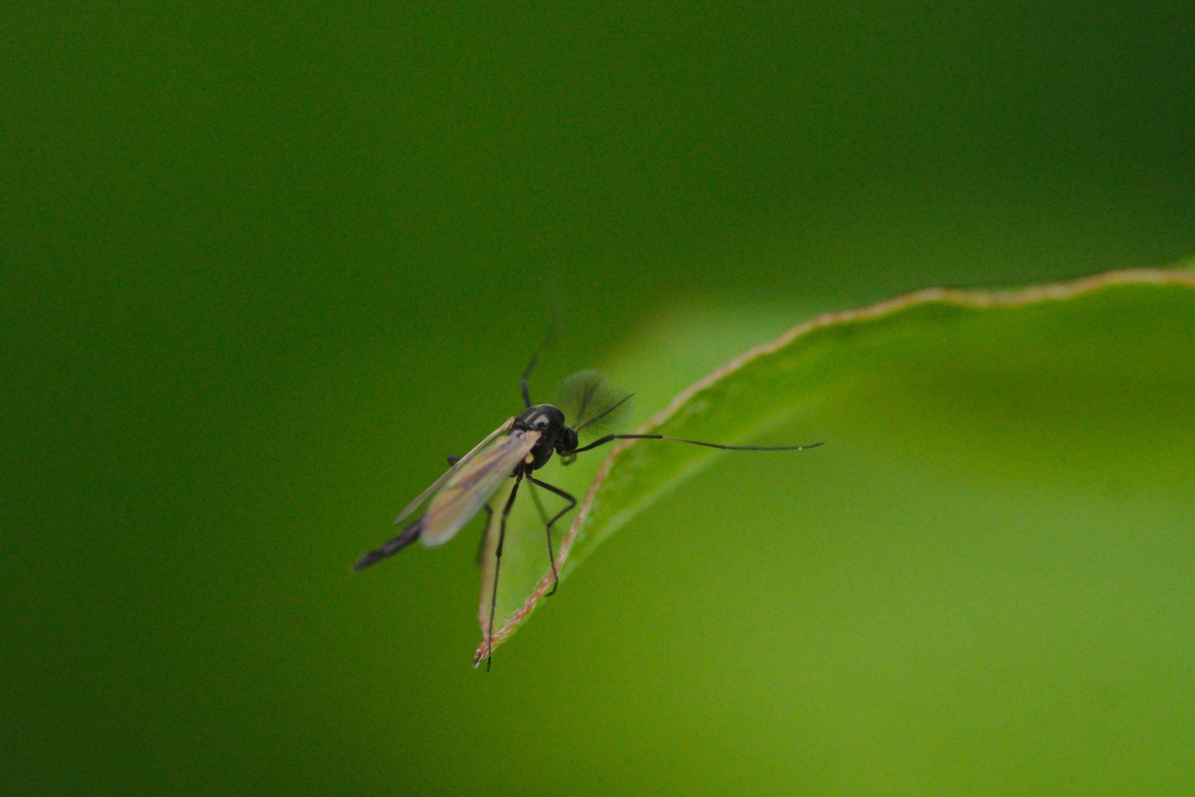 Chironomidae sp. (Zuckmücke)