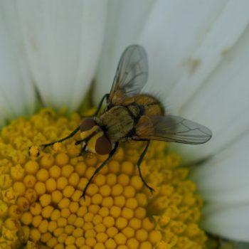 Clytiomya cf. sola (Raupenfliege)