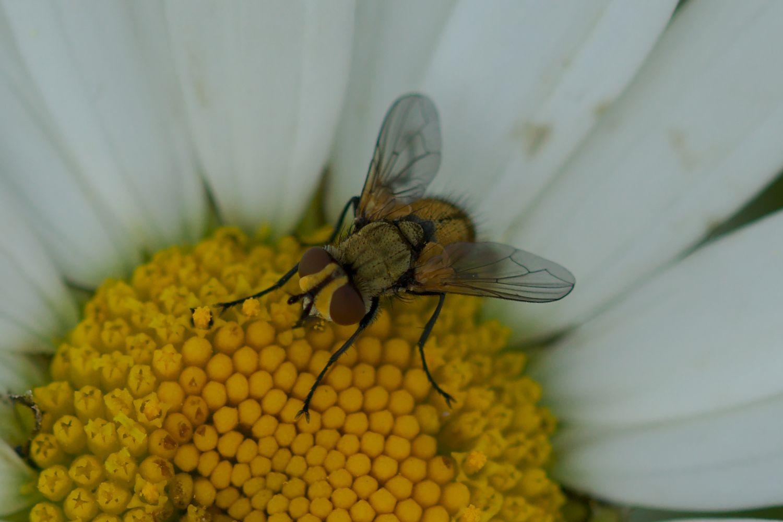 <i>Clytiomya</i> cf. <i>sola</i> (Raupenfliege)