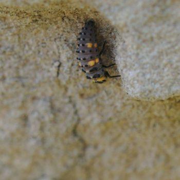 Coccinella septempunctata (Siebenpunkt-Marienkäfer)