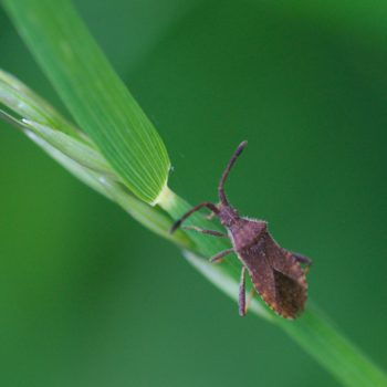 Coriomeris denticulatus (Randwanze)