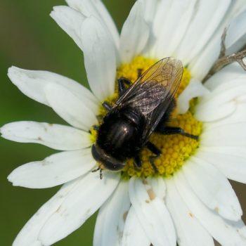 Criorhina ranunculi (Große Pelzschwebfliege)