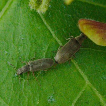 Danacea pallipes (Wollhaarkäfer)